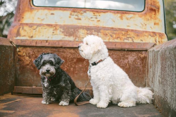 Pups in truck
