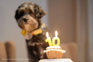PUPPY MILL SURVIVOR CELEBRATES TENTH BIRTHDAY
